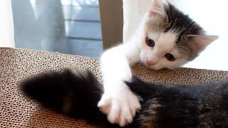 子ねこじゃらしな、まるしっぽ。Maru's tail is the most attractive toy for kittens.