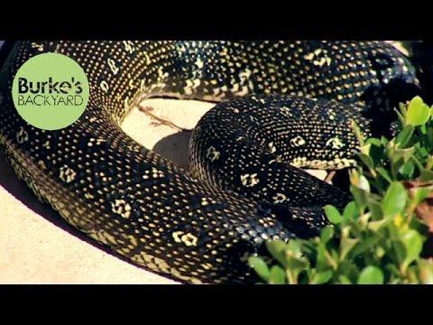 Burke's Backyard, Carpet Snake