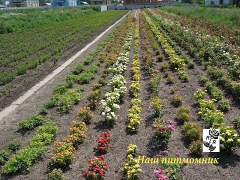 Купить саженцы почвопокровных роз. Цена. Фото. Описание. Гарантия сорта. Доставка саженцев по украине. У нас всегда низкая цена (044)599-53-52.