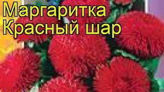 Маргаритка Красный шар. Краткий обзор, описание характеристик bellis perennis Krasnyy shar