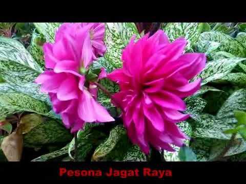 Cara Menanam Merawat Bunga Dahlia Di Pot