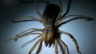 What is a Camel Spider??? (It's not a spider... or a scorpion!)