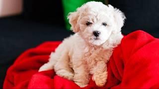 Бишон фризе (Bichon Frise) - породы собак