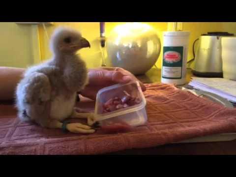 Feeding time for Baby Harris Hawk