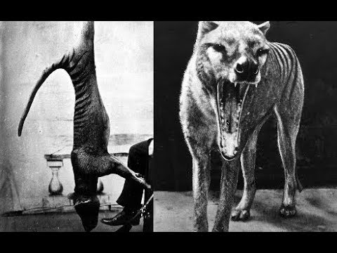 Scientists Unlock Tasmanian Tigers's DNA, And Plan To Clone It Bring The Beast Back