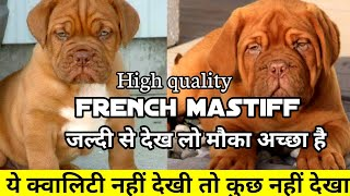 Ultimate quality french mastiff puppy for sale | ये नहीं देखा तो कुछ नहीं देखा