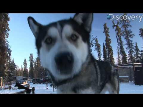 Iditarod: Alaskan Husky