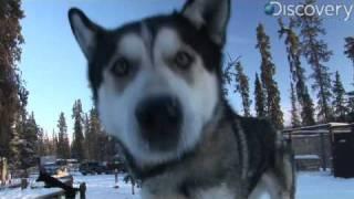 Iditarod: Alaskan Husky thumbnail