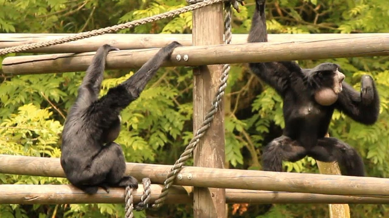 die affen im dortmunder zoo rasten aus raging apes youtube. Black Bedroom Furniture Sets. Home Design Ideas
