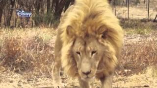 Yavru Aslanlar - Güreş