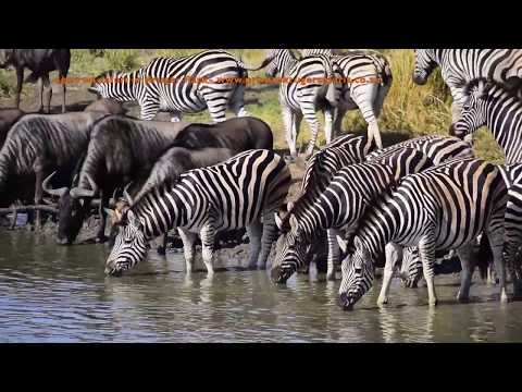 Maziti Dam, Zebra Migration Stopping Over At A Waterhole In Kruger Park