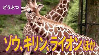 サファリの動物【動物・生き物 #7】 □登場する動物:アジアゾウ/アフリ...