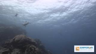 Dolphins delight Red Sea divers