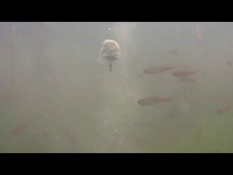 подводная съемка ловля толстолобика на планктон