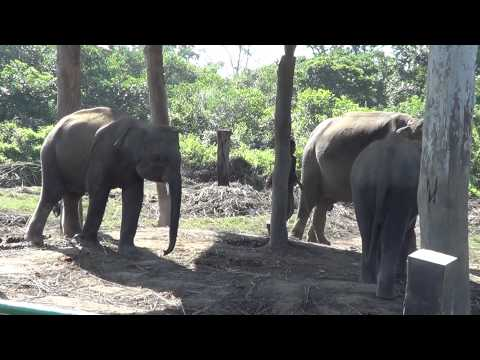 Twin Baby Elephant | 1st Time In Asia, Chitwan, Nepal | 2nd In the World