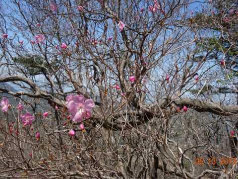 岩黒山の曙つつじ・ Vivaldi  ・Four Seasons Springposted by rialachapv