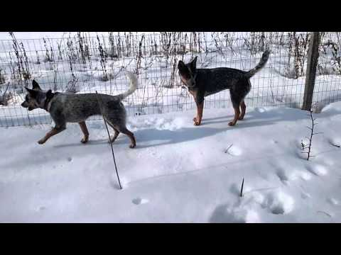 Australian Cattle Dogs (Blue Heeler) Snow Pouncing