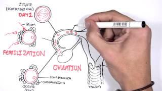 Embrology - Day 0 7 Fertilization, Zygote, Blastocyst
