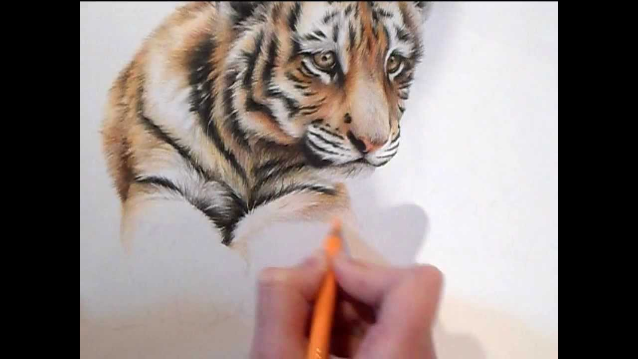 speed drawing how to draw a tiger cub in colour pencils youtube
