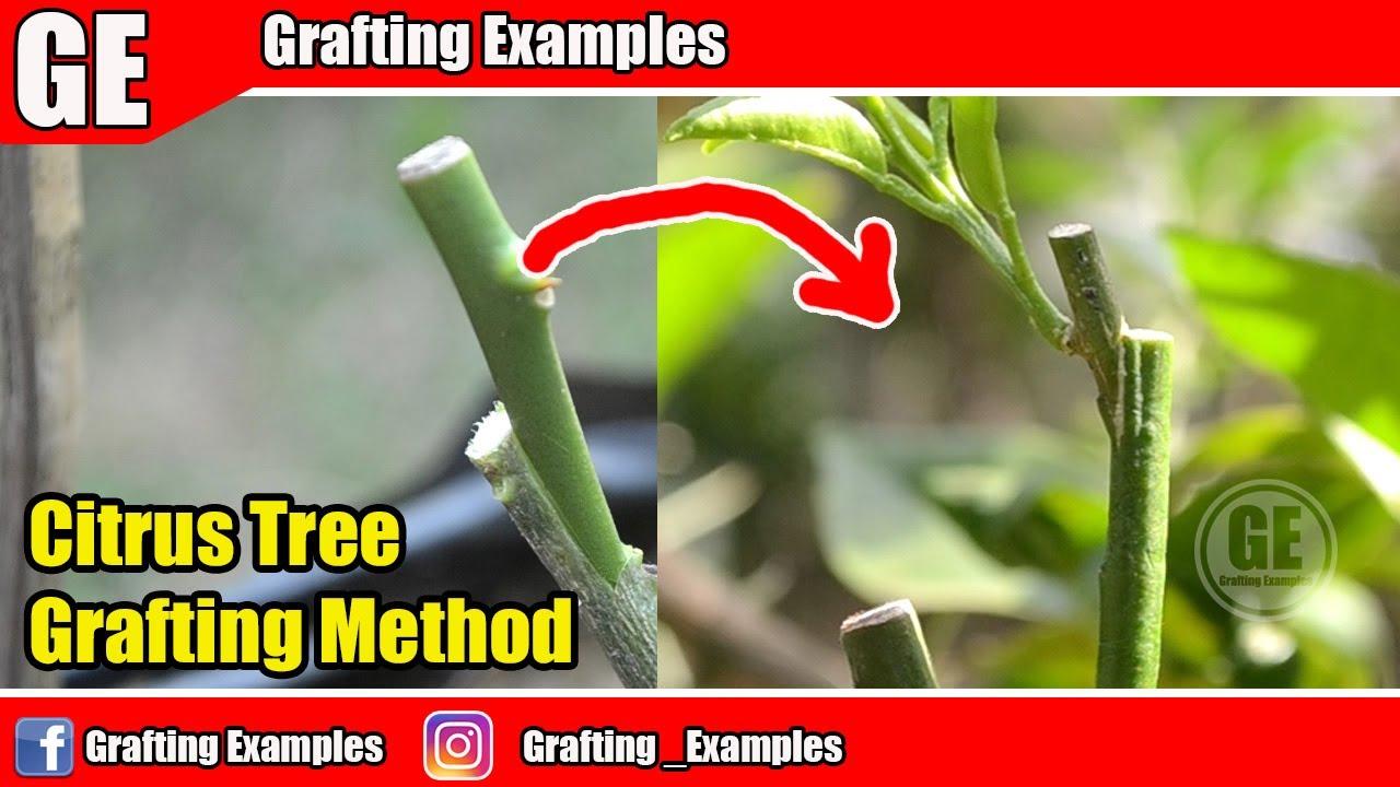 Cittrus Lime Tree Grafting Method