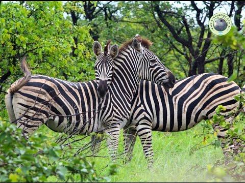Zebra O Cebra Yahoo Cebra de Llanura o de ...