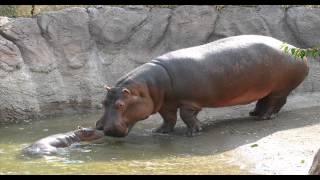 Czy wiesz jakie odgłosy wydaje hipopotam? Dźwięki zwierząt