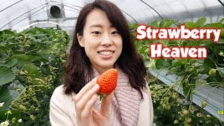 Japanese Winter Strawberry Picking