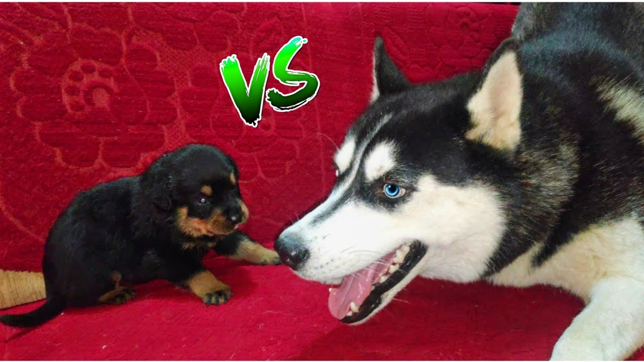Cheeni Mausi Puppy Chor🐾 Dog Can talk part 83 || Husky Vs Rottweiler Puppies || Review reloaded