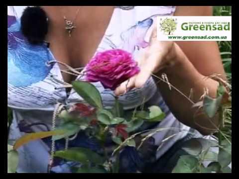 Розы патио - Ваш выбор для внутренних двориков