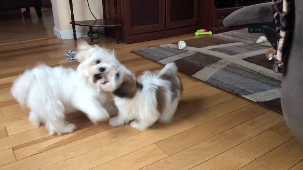 Maltese Teddybear Bichon And Shih Tzu Puppies Wrestling With