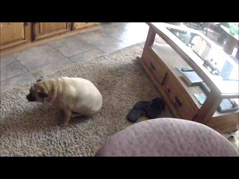 Extremely Fat Pug Butt Tornado! HILARIOUS!!!
