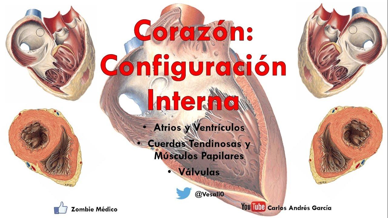 Anatomía - Configuración Interna del Corazón (Atrios, Ventrículos ...