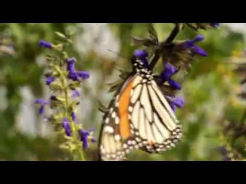 On the trail of Mexico's butterfly migration - BBC Travel Show