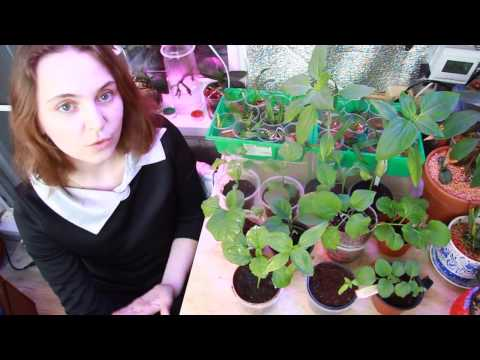 Выращивание орхидеи Фаленопсис в домашних условиях: как