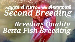 Betta Fish second Breeding . How many days need Betta fish second Breeding