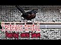 Pancingan Trotol Murai Jantan Buat Emosi Lawan  Mp3 - Mp4 Download