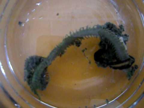 Epic battle between to marine worms