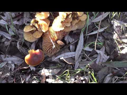 Грибы растущие на деревьях. Это опята или  гриб-двойник?
