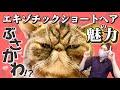 【エキゾチックショートヘアーの魅力紹介!】飼いやすさ、性格、病気、寿命について猫ブリーダーが解説します!