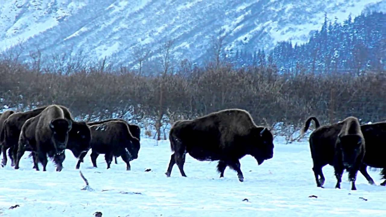 taiga animals, wood bison,