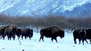 Wood Bison (Alaska Buffalo) Herd on the Run - Alaska Wildlife Conservation Center