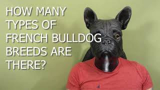How Many Types of French Bulldog Breeds Are There?