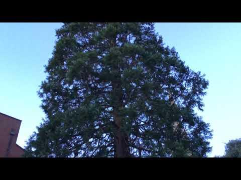 Giant redwood (Sequoiadendron giganteum) - tree - January 2018