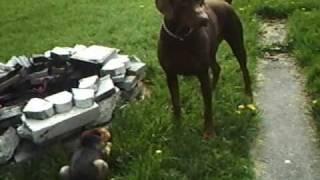 Doberman Pinscher And German Shepherd Mix Rottwelier Running Around