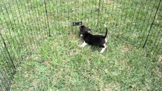Beagles For Sale In Miami /305-4851010