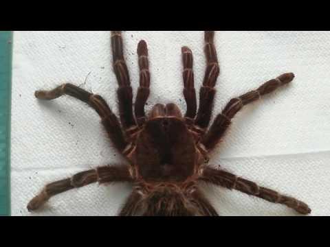Продолжительность жизни у самок пауков птицеедов на примере Lasiodora parahybana