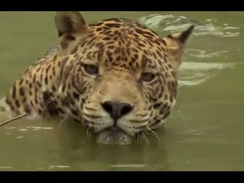 Jaguar: Close enough to smell its breath! | Deadly 60 | Series 3 | BBC