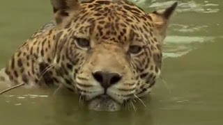 Jaguar: Close enough to smell its breath! - Deadly 60 - Series 3 - BBC