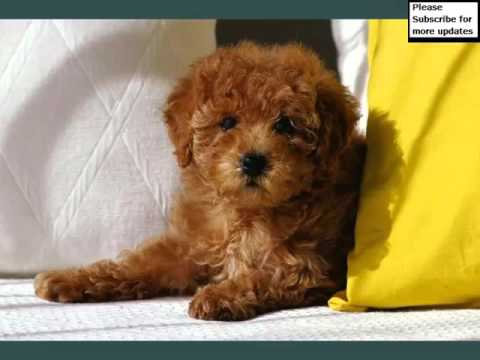 Toy Poodle Dogs | Dog Breed Toy Poodle Picture Collection Ideas