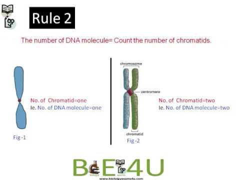 How To Count Chromosomes And DNA Molecules During Mitosis